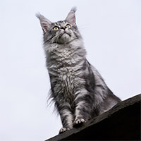 Un chat de race Maine Coon